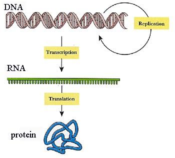 1 adn -> 1 ARNm -> 1 protéine